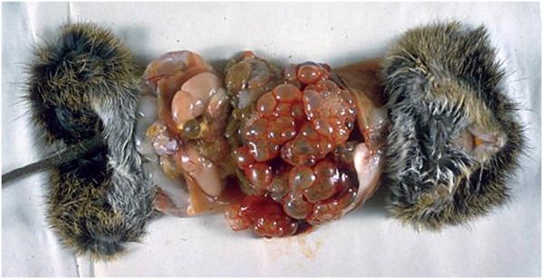 Foie de rat envahi de kystes d'E. multilocularis