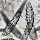 Demodex parasite du chien